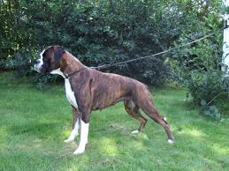 Boxer Puppy Weight Chart Boxer Dog Breed Information Pictures More