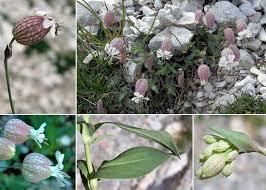 Silene vulgaris (Moench) Garcke subsp. glareosa (Jord.) Marsden ...