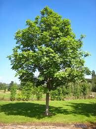 Fraxinus excelsior - Wikipedia