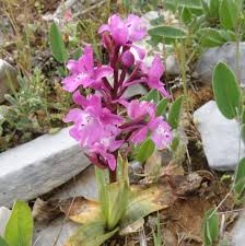 Orchis quadripunctata - Four-spotted Orchid