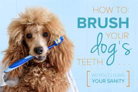 how to brush your dog s teeth without losing your sanity