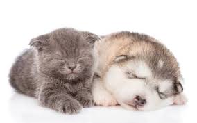 puppy and kitten sleeping. Fine Sleeping Alaskan Malamute Puppy And Kitten Sleeping Together Isolated On White  Background Stock Photo  With Puppy And Kitten Sleeping 0