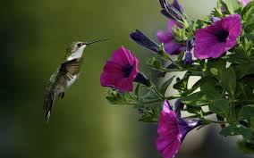 hummingbird hd wallpapers wallpapersin4k net