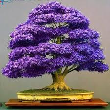 purple bonsai maple tree seeds mini bonsai tree for indoor plant can put on office desk bonsai tree office table