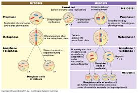 meiosis and sexual life cycles image fig 13 8a