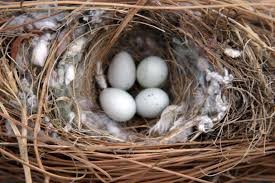 What Do House Sparrows Nests Eggs Look Like Terminix