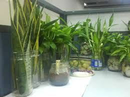 plants for office cubicle. Beautiful Office Desk Plants 6346 Best Fice Good For The Environment Gardening Know How Set Cubicle