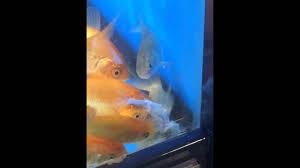 petco goldfish. Modren Goldfish Goldfish At Petco Are Cannibals With I