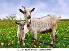 Překrásný, léto, goat, krajina, kůzle. | CanStock