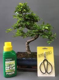 20cm shaped chinese elm bonsai tree gift set free p p