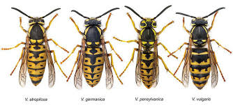 Wasp Identification Chart Wasp Identification Wasps