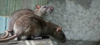 how to get rid of rats in the garden