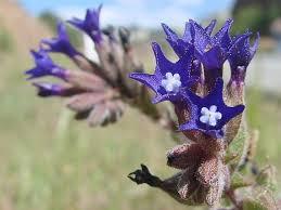 BOTANY.cz » ANCHUSA UNDULATA subsp. HYBRIDA (Ten.) Cout ...