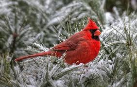 winter cardinal wallpaper. Perfect Winter Cardinal Wallpaper Inside Winter HipWallpaper