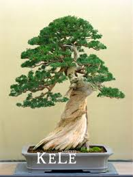 bonsai tree for office. New Seeds 2018!50 Pcs/Lot Juniper Bonsai Tree Potted Flowers Office Purify The Air Absorb Harmful Gases,#WNXUMU-in From Home \u0026 Garden On For R