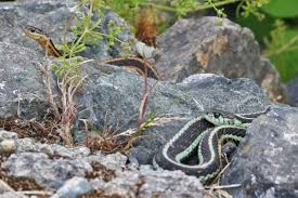 reminder garter snakes in your garden presentation at edmonds demo garden july 15