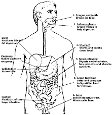 Digestive System Anatomy And Physiology Picture