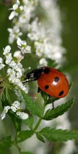 515 best lady bug images on Pinterest | Ladybugs, Lady bugs and ...