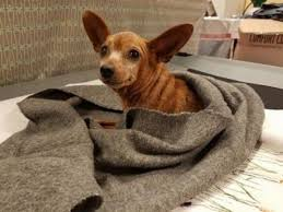 chihuahua dogs for adoption in new bern north carolina petcurious
