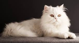 white persian cat. Contemporary Cat Ready To Check Out Our 35 Wonderful White Cat Facts And Persian