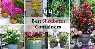 44 Best Shrubs for Containers | Best Container Gardening Plants | Balcony  Garden Web