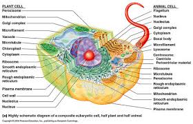 Compare Prokaryotic And Eukaryotic Cells Venn Diagram Powerschool Learning Biology Cell Structure And Function