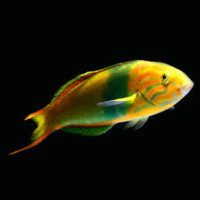 Lime Green Wrasse Thalassoma Lutescens