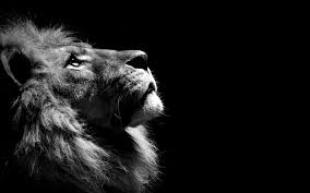 lion black and white 1366x768 resolution