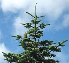 Christmas Tree Types Noble Fir Fraser Fir Grand Fir Douglas FirTypes Of Fir Christmas Trees