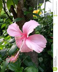 Light Pink Hibiscus Light Pink Hibiscus Flower Stock Image Image Of Blossom