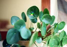 house plant with round green leaves zoom houseplant green leaves red underside