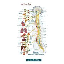Autonomic Nervous System Lateral Labeled Body Part Chart Removable Wall Graphic