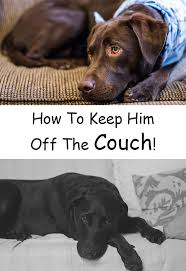 How To Keep Your Dog f The Couch The Labrador Site