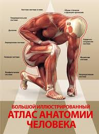 анатомия мышечной системы таблица