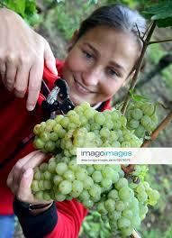 Weinlese Sophie Koehler erntet frische Weintrauben (Goldriesling ...