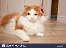 fluffy white and orange cats. Fine Cats A Fluffy Orange And White Cat Laying On The Floor At Home And Fluffy White Orange Cats U