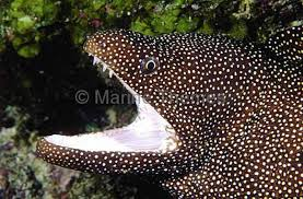 The zebra moray eel, gymnomuraena zebra , is a white and black striped species of eel. Whitemouth Moray Eel Gymnothorax Meleagris Showing Teeth Dangerous Bite Bitten Mouth Jaws Spots Spotted Pattern Sharp Eels Archives Marinethemes Stock Photo Library