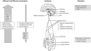 Reflexology Chart Vagus Nerve Frontiers Vagus Nerve As Modulator Of The Brain Gut Axis