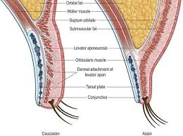 Eyelid Anatomy Anatomy And Neurophysiology Related To Eyelid Opening A Anatomy