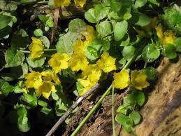 Lysimachia nummularia - Michigan Flora