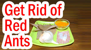 Small Red Ants In Kitchen How To Get Rid Of Red Ants At Home Youtube