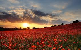 flower field sunset. Image: Lovely Poppy Field Sunset Wallpapers And Stock Photos. « Flower