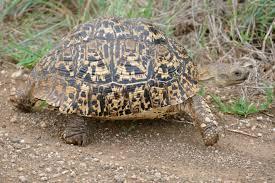 Leopard Tortoise Size Chart Leopard Tortoise Wikipedia
