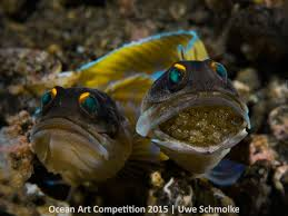 essay on marine life easay about life ocean art contest winners  ocean art contest winners underwater photography guide jawfish couple next generation