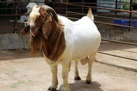 Goat Chart Boer Goat Weight Chart By Age Archives Learn Natural Farming