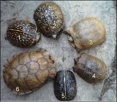 Box Turtles Subspecies