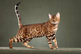 Awesome Bengal Cat  Purrfect Cat Breeds Also Breathtaking Pictures Of  Bengal Cats