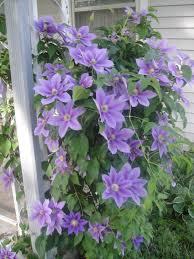 Light And Dark Purple Clematis Purple Clematis Clematis