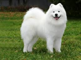 Samoyed Fun Facts And Crate Size Pet Crates Direct