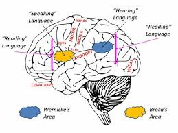 are we really just wired differently by tedd roberts baen books broca s area is necessary for spoken language and is likewise in a region that intersects the motor output muscle control brain areas necessary to